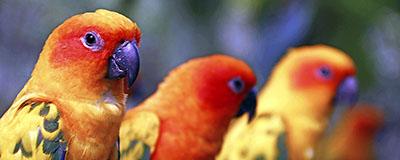 papegojor400